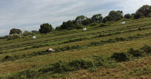 Ūkininkas savo pievose užfiksavo kaip gandras sudorojo gyvatę (video)