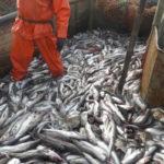 Šilutės savivaldybės administracija prekiaus žuvimi?