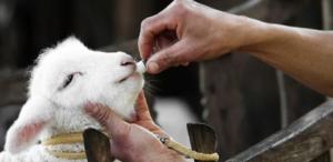 Antibiotikai gyvūnams