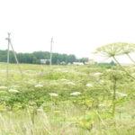 Kauno rajono valdžia skyrė 20 000 EUR Sosnovskio barščių naikinimui