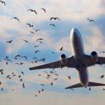 Lietuvos oro uostuose  sprogstamais ir žviegiančiais šoviniais baidys paukščius.