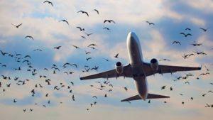 Paukščiai ir lėktuvas