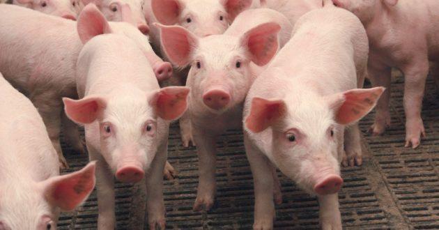 Prasidės lietuviškos kiaulienos eksportas į Ukrainą