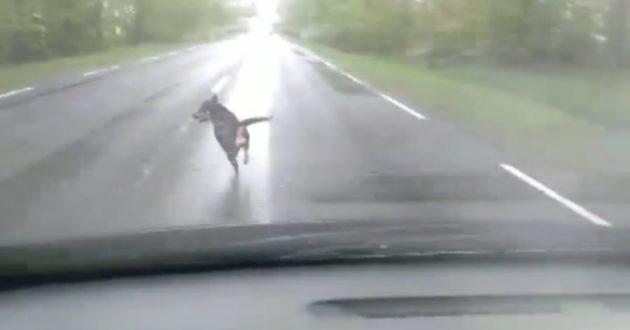 Palaidi šunys Kauno rajone kelia grėsmę eismo saugumui(video)