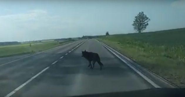 Palaidi šunys Kauno rajone ir toliau kelią grėsmę eismo saugumui(video)