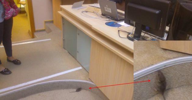 Pasirodžiusi pelė Kauno miesto savivaldybės rinkimų salėje išgąsdino rinkėjus