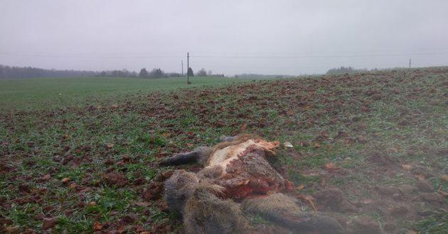 Netoli Raudondvario rasti šerno likučiai - įtariama vilkų puota