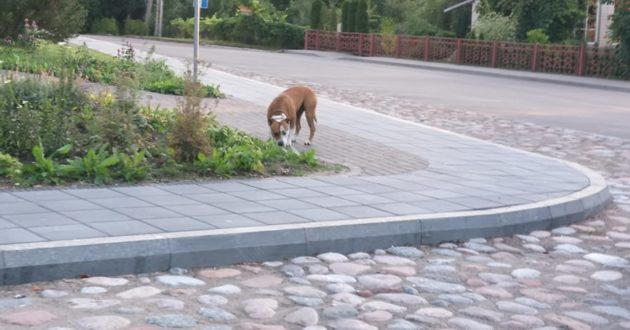 Po Vilkijos miestelį lakstė palaidas kovinis šuo(atnaujinta)