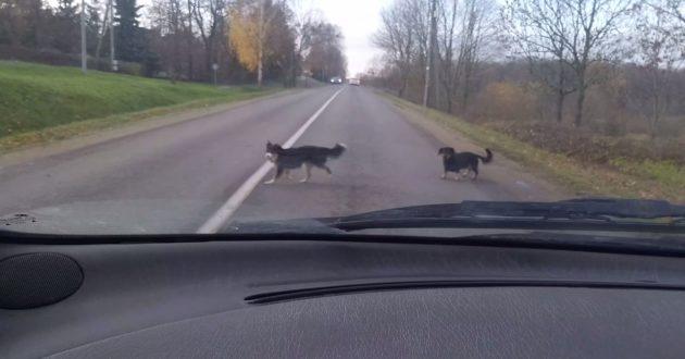 Kauno rajono valdžia nesusitvarko su palaidais šunimis- keturkojai kelia grėsmę eismo saugumui(video)