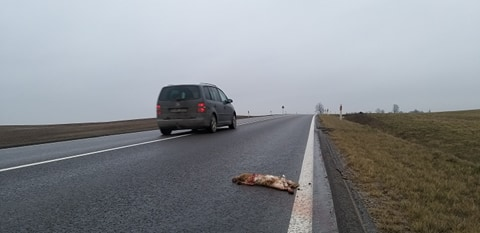 Palaidi šunys Kauno rajone žūsta patys ir kelia grėsmę eismo saugumui