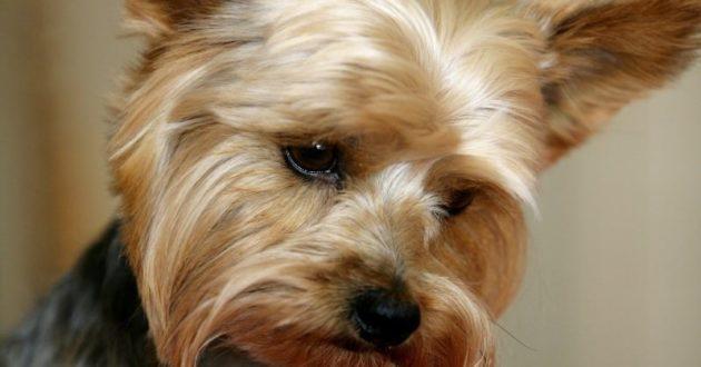 Kontrolinis šuns pirkimas atskleidė įžūlų pažeidimą – neteisėtą veisimą ir prekybą Šiauliuose
